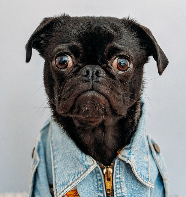 A sad looking pug in jean jacket that could use some CBD and THC oil on Coffeeshop Guru